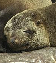 Cape fur seal sleeping