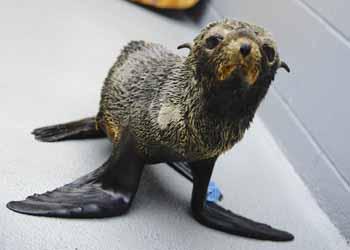 Malnourished Guadalupe fur seal
