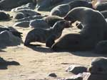 Cape fur seal mother and pup